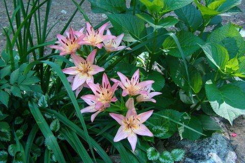 Heartsong Lillies
